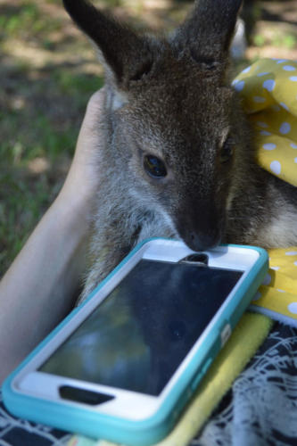Bennett Wallaby - Cub Creek Science Camp