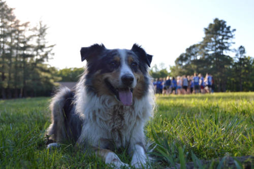 Australian Sheppard Dog - Cub Creek Science Camp