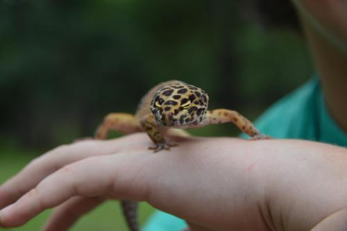 Crested Gecko - Cub Creek Science and Animal Camp