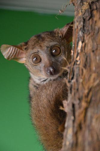 Bush Baby - Cub Creek Science and Animal Camp