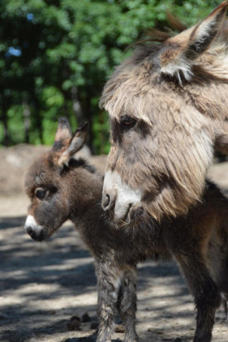 Miniature Donkey Mother and Foal - Cub Creek Science Camp