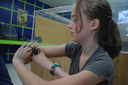 Chaco Golden Knee Tarantula - Cub Creek Science Camp