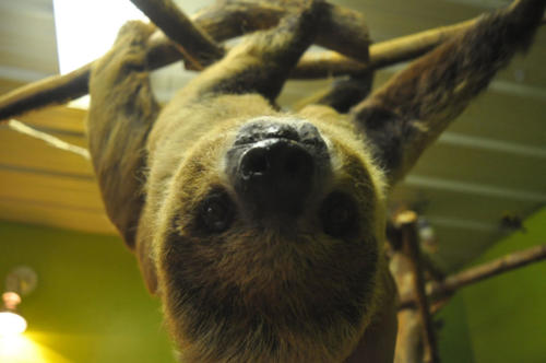 Sarah Female Two Toed Sloth - Cub Creek Science Camp