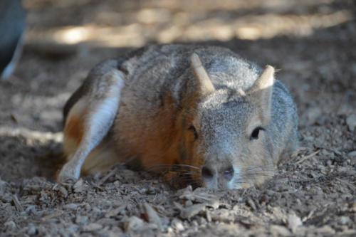 Patagonian Cavy Relaxing - Cub Creek Science Camp