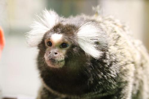 Cotton Eared Marmoset - Cub Creek Science and Animal Camp